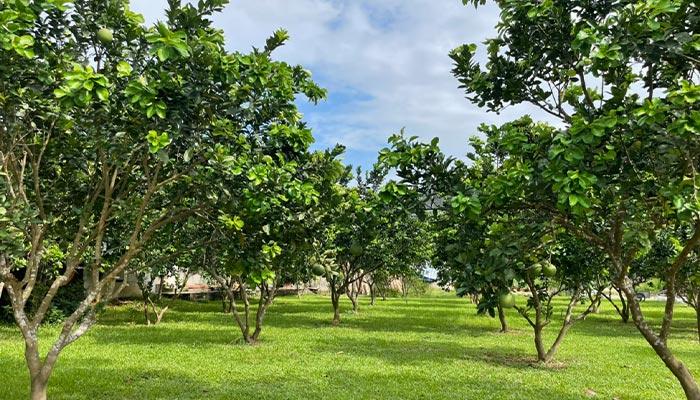 vườn cây trái Ba Vì