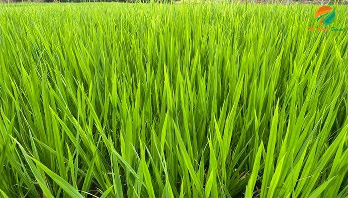 ruongj lúa ở Ba Vì