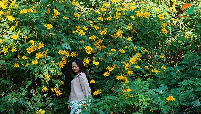 Vườn hoa dã quỳ - địa điểm không thể bỏ qua khi tới Ba Vì